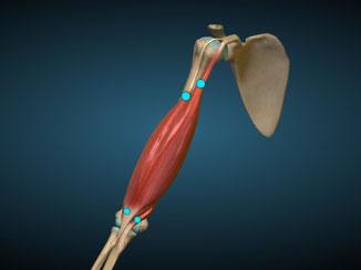 Bíceps frontal