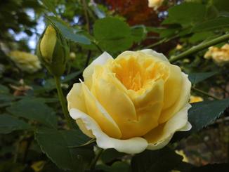 Siras Rose