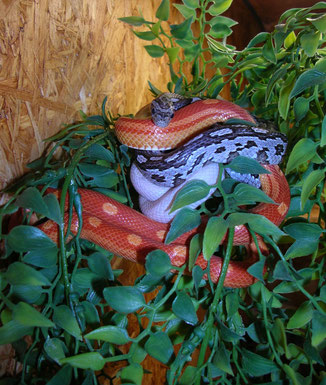Kornnattern Anerythristic aztec, Opal hurricane, Sunglow circleback