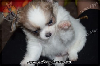 Chihuahua adoption