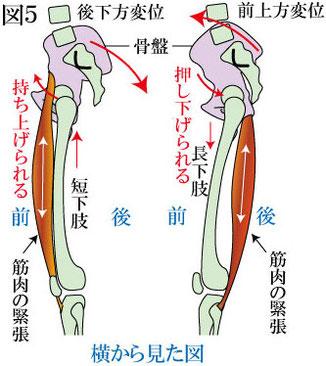 骨盤と膝 側面から