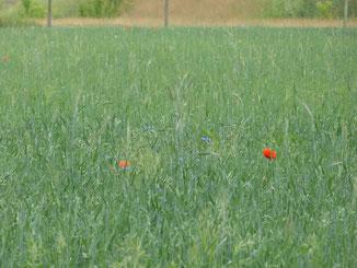 Im Öko-Haferfeld blüht es. Hier leben zahlreiche Nutzpflanzen und Tiere auch neben der Hauptkultur, die wir anbauen. Das gibt leicht verringerte Erträge, dafür aber deutlich mehr Artenvielfalt. Wir suchen weitere Flächen, Acker, Wiesen, Wieden, Grünland.