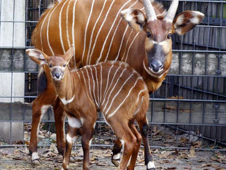 Die kleine Bongo-Antilope heißt Kaamu. Foto: Susanne Kern/Stuttgarter Wilhelma