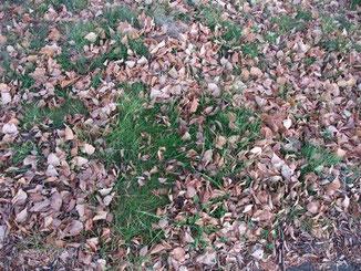 博物館付近の枯れ葉の写真