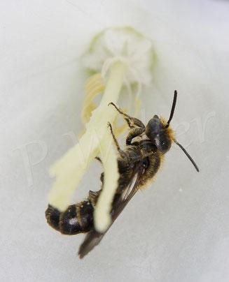 21.06.2015 : Glockenblumen-Scherenbiene, Mänchen an der (weißen) Pfirsichblättrigen Glockenblume