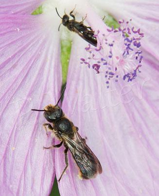 22.06.2019 : Glockenblumen-Scherenbiene, Männchen an einer Malvenblüte