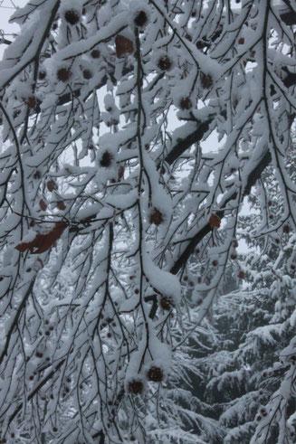 G. Franke: verschneite Buchenzweige mit Bucheckern