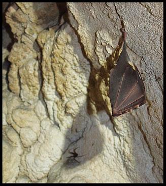 Grotta di Brè II: pipistrello in letargo