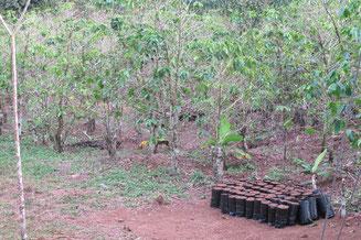 Alte und neue Kaffeepflanzen