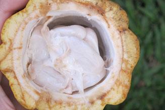 In dem weißen Fruchtfleisch verbergen sich die weißen (!) Kakaobohnen