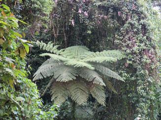Diese Farnpflanzen gab es schon in den Zeiten der Dinos!