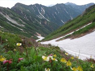 雪渓に咲き誇るお花たち