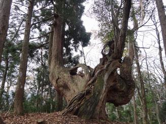 ランナーを見守る中岳の台杉