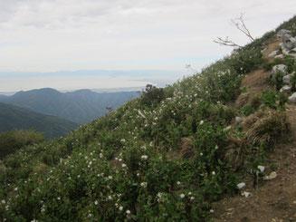 樹林から抜けると一面ベニバナボロギクの大群落