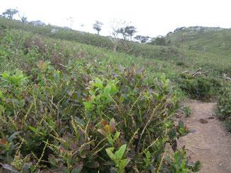 これもシカの不嗜好性植物ハナヒリノキ