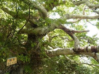 神木「たこガンピ」 枝が、絡まっているのか?