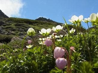 北沼のお花畑で(チングルマとエゾノツガザクラ)