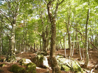 駒ヶ岳西尾根のブナノ木平あたりのブナ