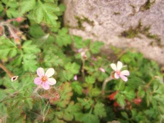 岩陰にひっそりと咲くヒメフウロ。