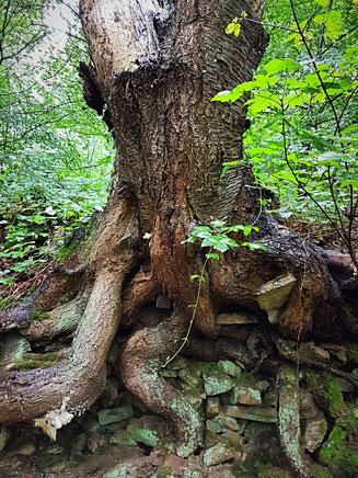 Baum mit bewundernswertem Wurzelweg, der sogar eine Mauer gesprengt hat. Auf dem Baldeney-Steig bei Essen.