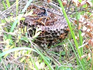 草の中の蜂の巣
