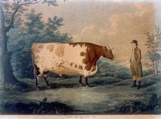 Etching of the Durham Ox by John Boultee 1753-1812.  Public Domain