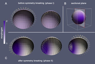 Finite Element Simulation of pattern formation in biological tissue