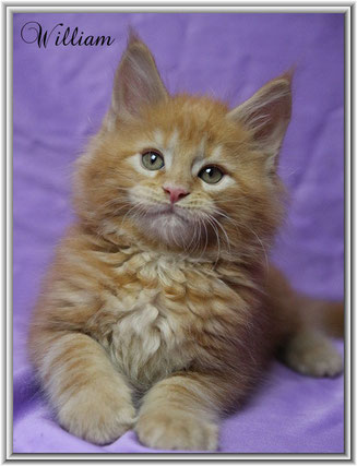 Maine Coon red classic tabby