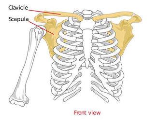 anatomische Darstellung der Schulter, Schulterblatt, Schlüsselbein und Brustbein