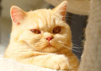 BKH black ticked tabby Britisch Kurzhaar Katze