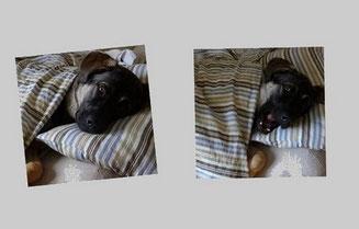 Un chien type berger couché dans un lit sous une couette rayée bleue et grise par coach canin 16 educateur canin à angoulemen