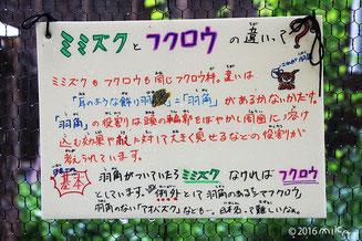 フクロウとミミズクの違い(旭山動物園)