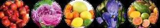 Aromen im Wein, Torrontes, Pfirsich, Rosen, Zitrusfrüchte, Veilchen, Mango