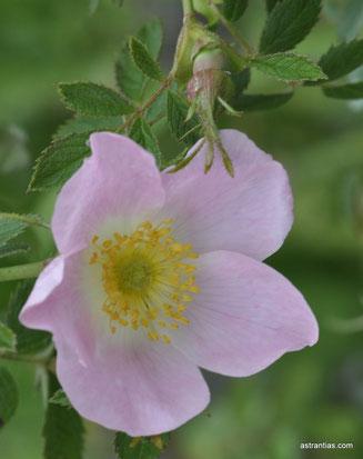 Rosa elliptica - Rosa graveolens - Duft-Rose - Keilblättrige Rose - Rosier à feuilles elliptiques - Rosa a foglie ellittiche - Wildrosen-Wildsträucher-Heckensträucher-Artenvielfalt-Ökologie-Wildrose