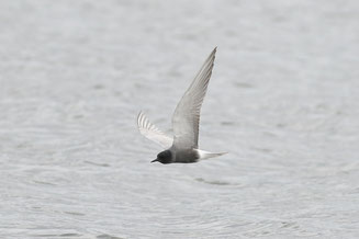 Symbolfoto Trauerseeschwalbe