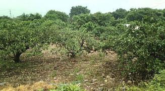 青井農園の安政柑畑