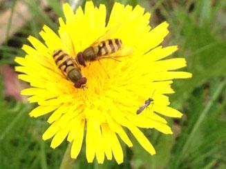 zwei Schwebfliegen & eine Wildbiene an Löwenzahn