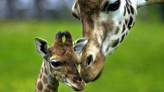 Baby giraffa