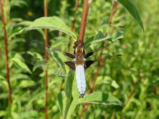 Ein Schwerpunkt der Stiftung Naturoase Reindobl ist die Schaffung eines Lebensraums für Insekten