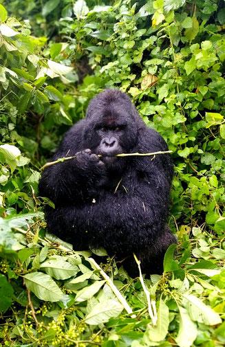Туры к гориллам в парк Вирунга