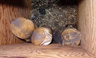 Drei juvenile Schleiereulen. Foto: Reinhard Reetz