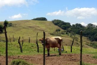 Kuh, Kühe, Costa Rica,