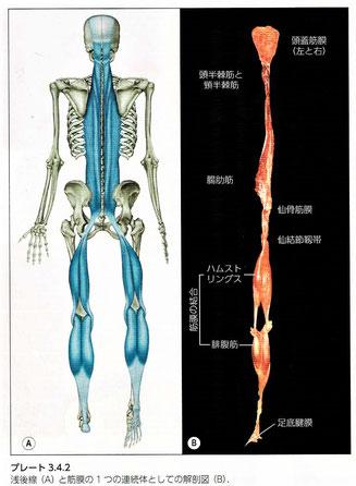 線後線と筋膜の連続体としての解剖図