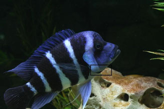cyphotilapia-gibberosa-blue-zaire-moba.j