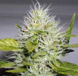 Weibliche Hanf Cannabis Blüte in ca. der 6 Woche der Blütephase