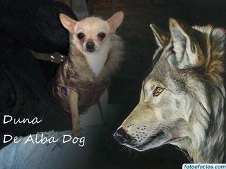 Foto perro de raza chihuahua hembra adulta de pelo corto y color dorado, propiedad de los criadores de chihuahuas en Valencia (España), venta de chihuahuas; cachorros de chihuahua de pelo corto y largo con afijo y pedigree