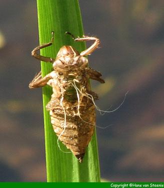 Leeg larvehuidje is achtergebleven.