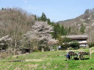 日向地区の山桜