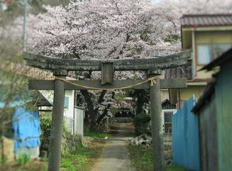 鎮守の桜(東御市鞍掛)
