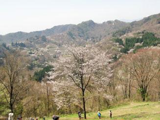 豊盛公民館から望む山桜